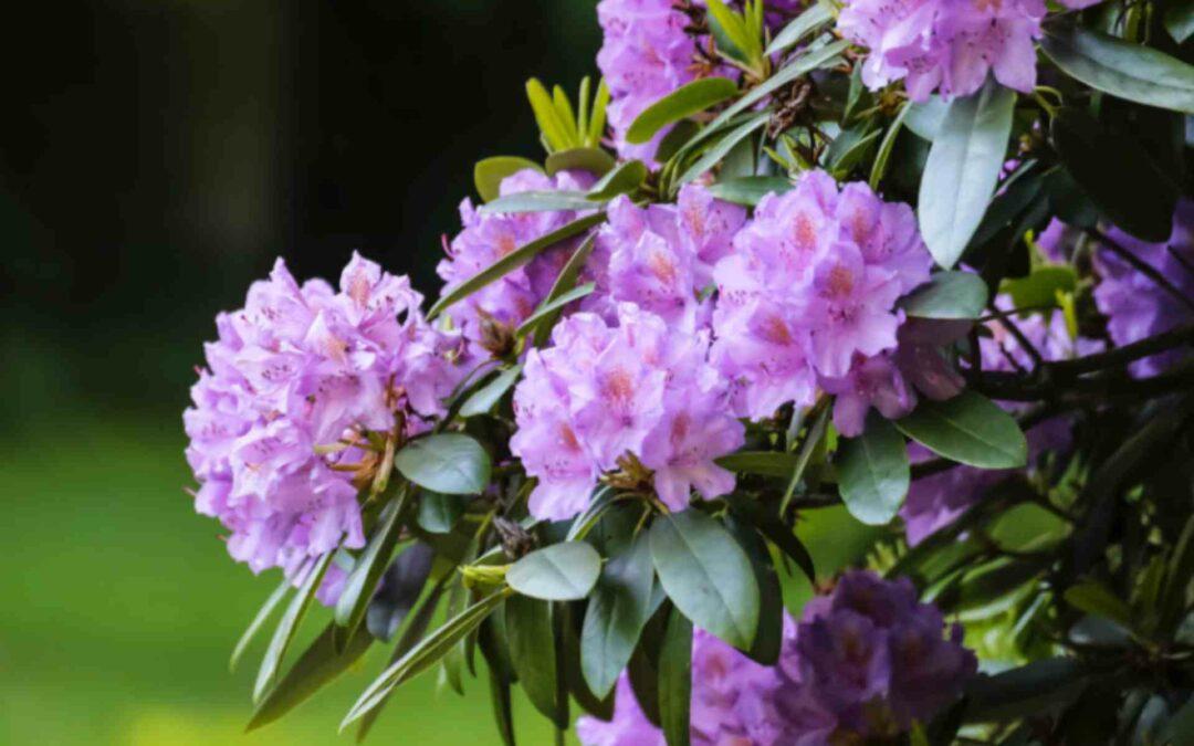Rhododendron kopen? Hier moet je op letten