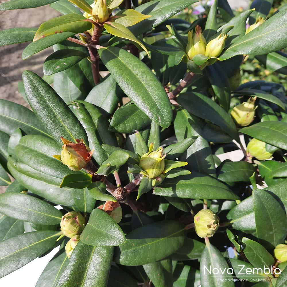 Rhododendron Alfred knop - Kwekerij Nova Zembla