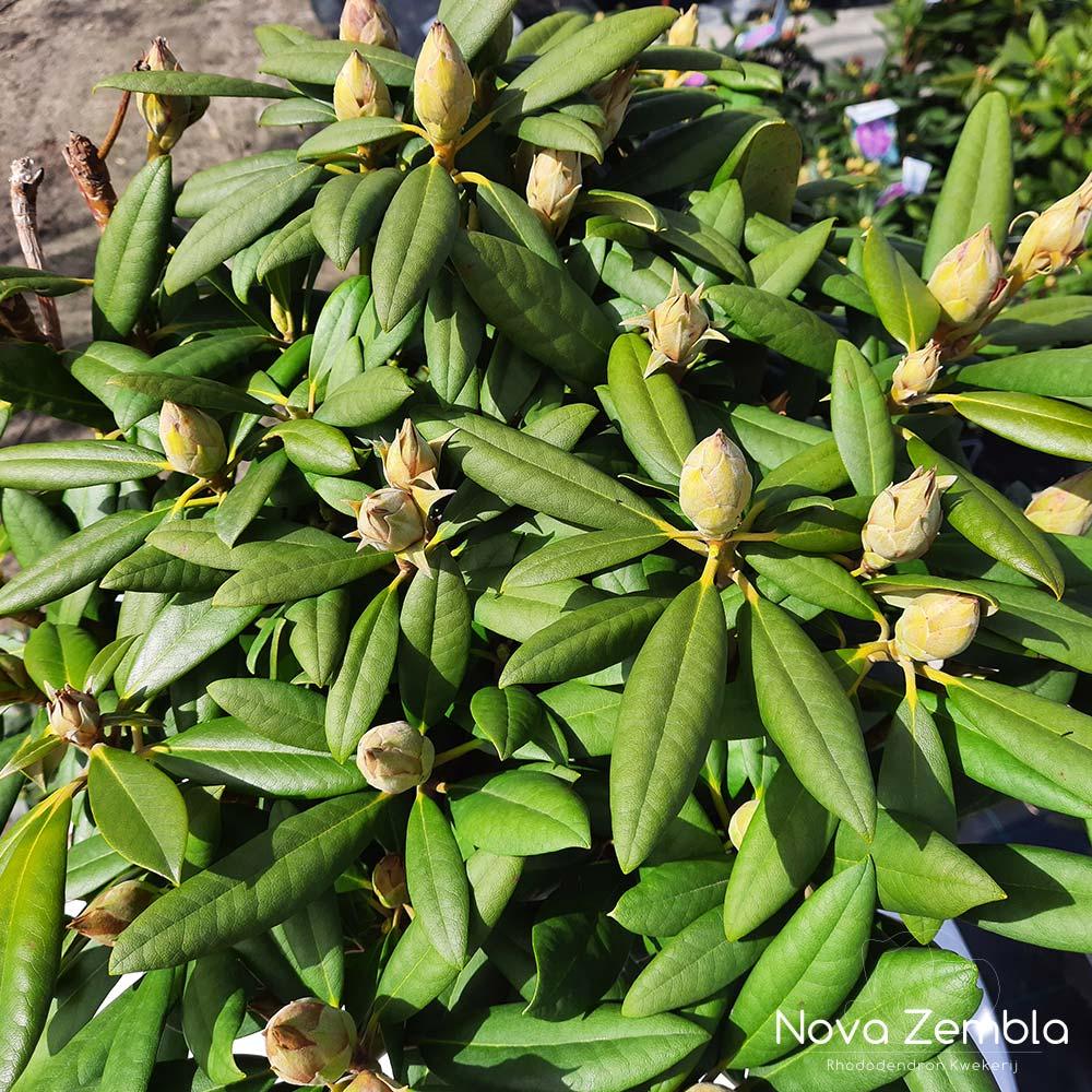 Rhododendron Caroline Allbrook knop - Kwekerij Nova Zembla