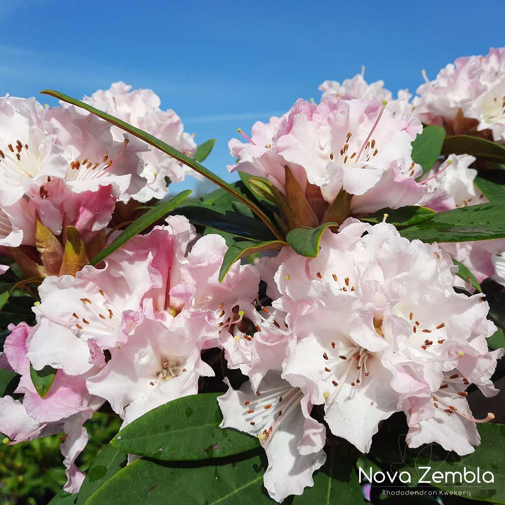 Rhododendron Christmas Cheer - Kwekerij Nova Zembla