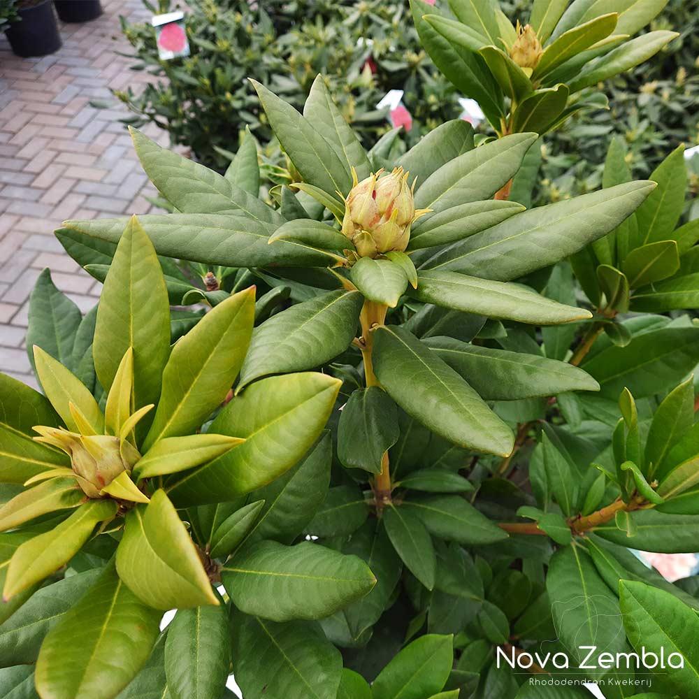 Rhododendron Cosmopolitain knop - Kwekerij Nova Zembla