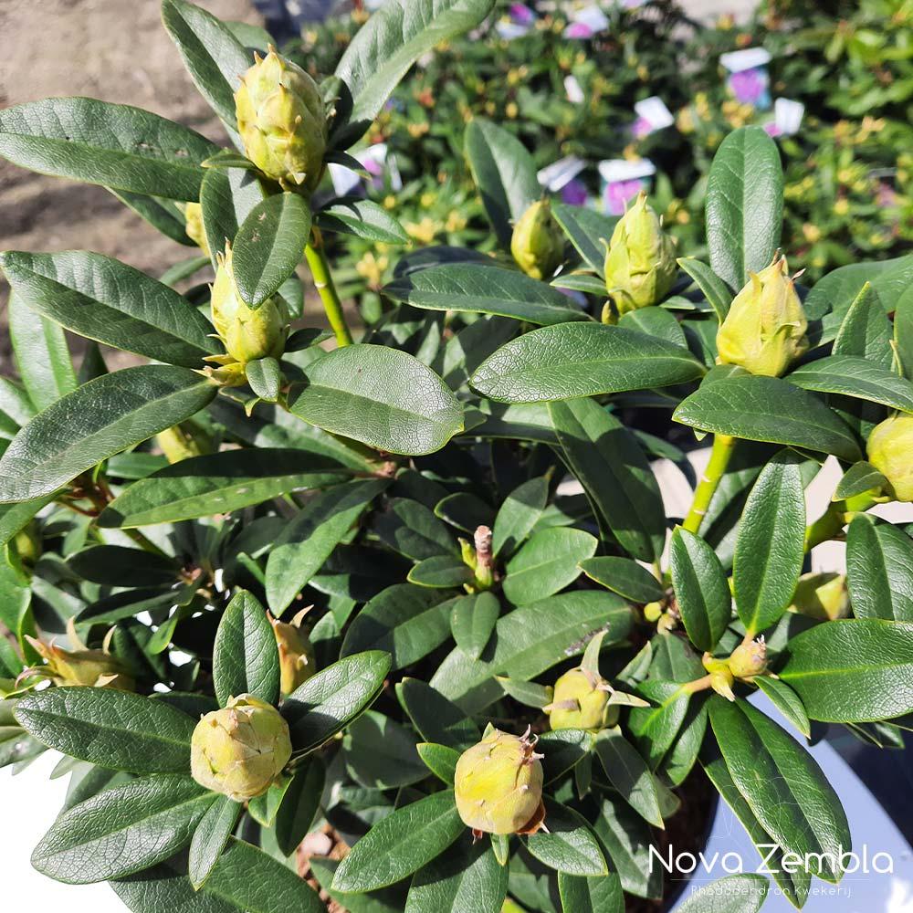 Rhododendron Cunningham's Blush knop - Kwekerij Nova Zembla