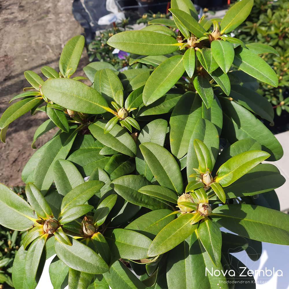 Rhododendron Doc knop - Kwekerij Nova Zembla