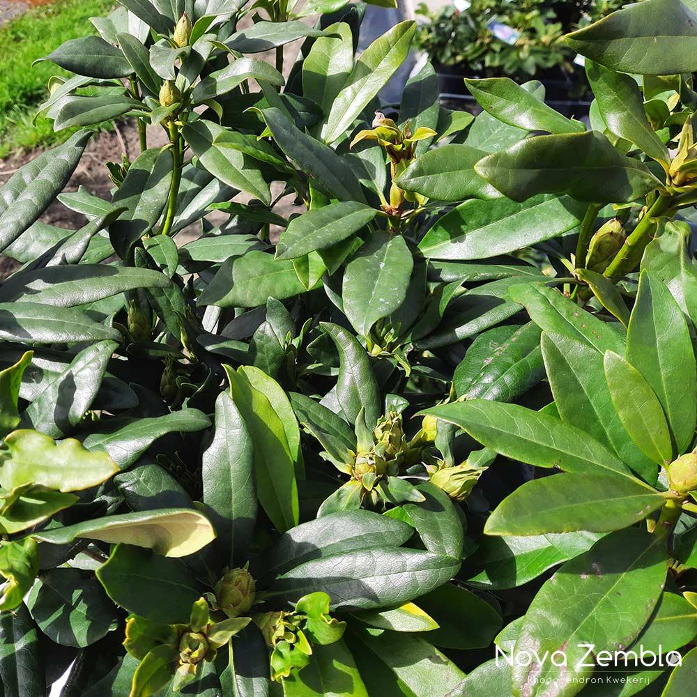 Rhododendron Madame Masson knop - Kwekerij Nova Zembla
