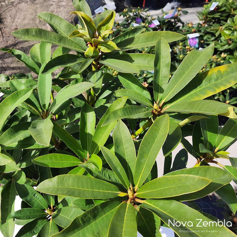 Rhododendron WIlgens Ruby knop - Kwekerij Nova Zembla