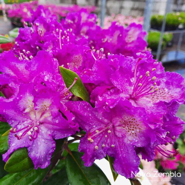 Rhododendron Alfred - Kwekerij Nova Zembla