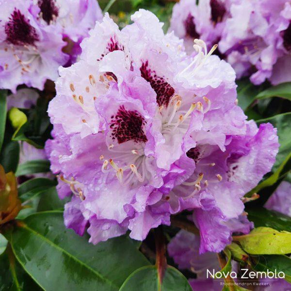 Rhododendron Blue Peter - Kwekerij Nova Zembla