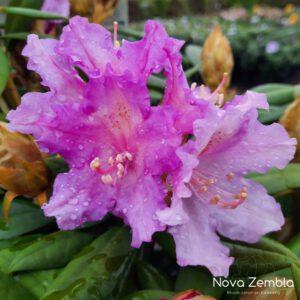 Rhododendron Caroline Albrook - Kwekerij Nova Zembla