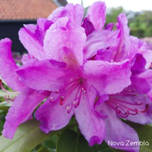 Rhododendron Catawbiense Boursalt - Kwekerij Nova Zembla