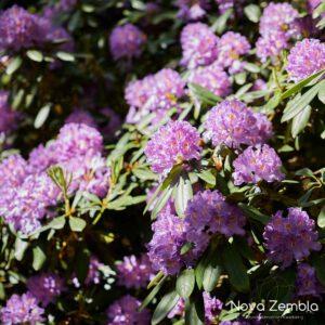 Rhododendron Catawbiense Grandiflorum - Kwekerij Nova Zembla