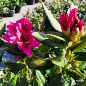 Rhododendron Cosmopolitan - Kwekerij Nova Zembla