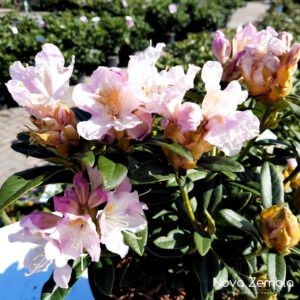Rhododendron Cunningham's Blush - Kwekerij Nova Zembla