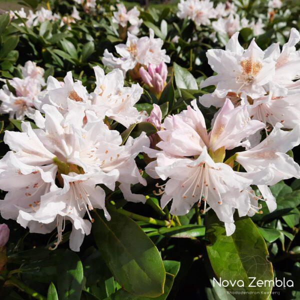 Rhododendron Cunningham's White-2 - Kwekerij Nova Zembla