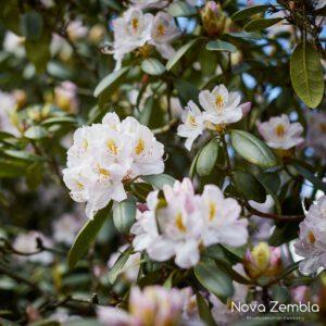 Rhododendron Cunningham's White - Kwekerij Nova Zembla