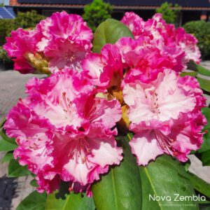 Rhododendron Germania - Kwekerij Nova Zembla