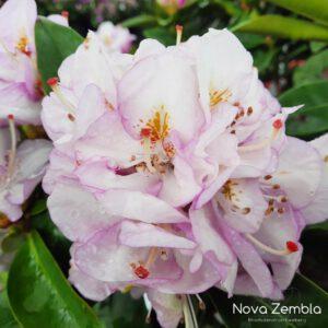 Rhododendron Gomer Waterer - Kwekerij Nova Zembla