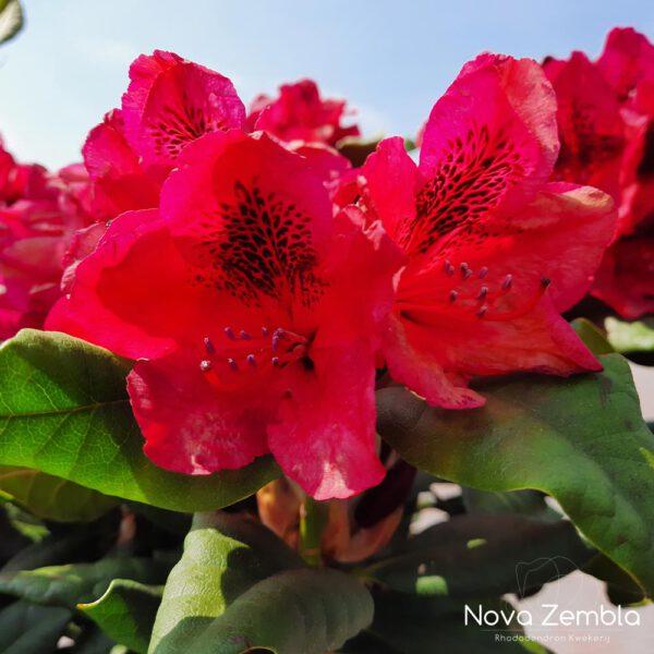 Rhododendron Lord Roberts - Kwekerij Nova Zembla