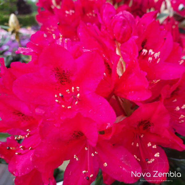 Rhododendron Nova Zembla-2 - Kwekerij Nova Zembla