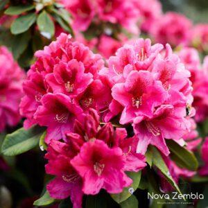 Rhododendron Nova Zembla - Kwekerij Nova Zembla