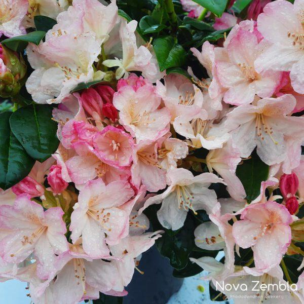 Rhododendron Percy Wiseman-2 - Kwekerij Nova Zembla