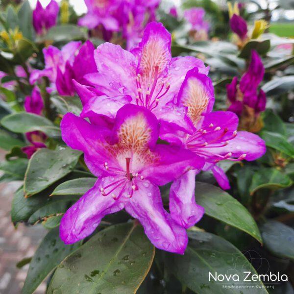 Rhododendron Ponticum-2 - Kwekerij Nova Zembla
