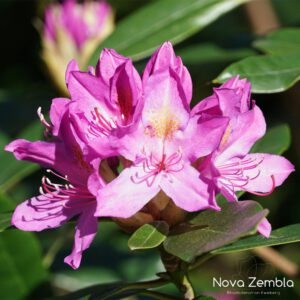 Rhododendron Ponticum - Kwekerij Nova Zembla