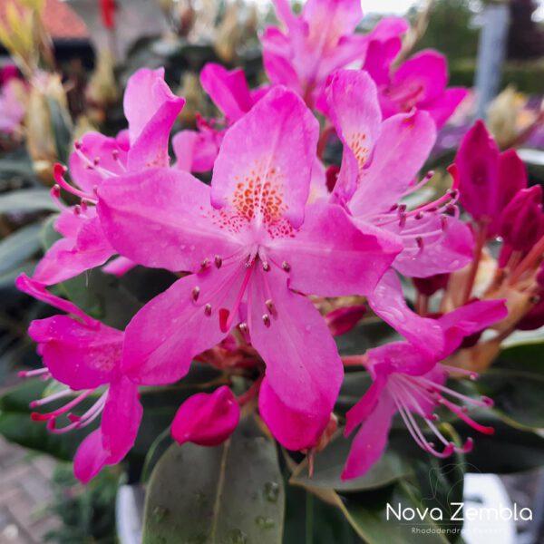 Rhododendron Ponticum Roseum-2 - Kwekerij Nova Zembla