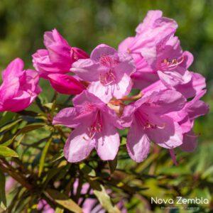 Rhododendron Ponticum Roseum - Kwekerij Nova Zembla