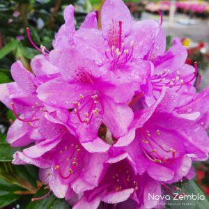 Rhododendron Roseum Elegans - Kwekerij Nova Zembla