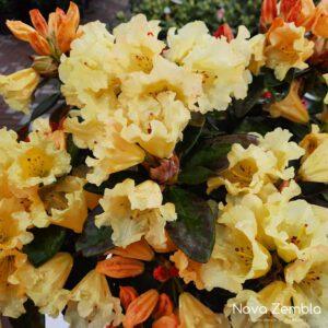 Rhododendron Saffrano - Kwekerij Nova Zembla