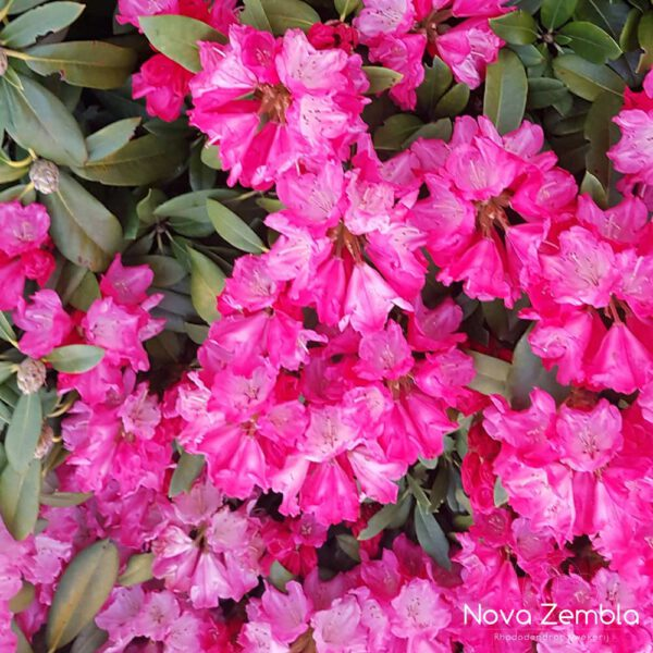 Rhododendron Sneezy - Kwekerij Nova Zembla