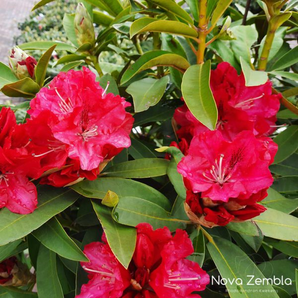 Rhododendron Wilgen's Ruby - Kwekerij Nova Zembla