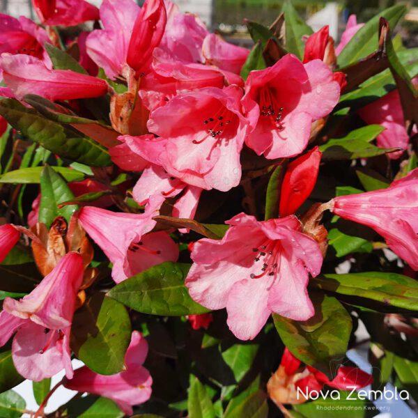 Rhododendron Winsome - Kwekerij Nova Zembla