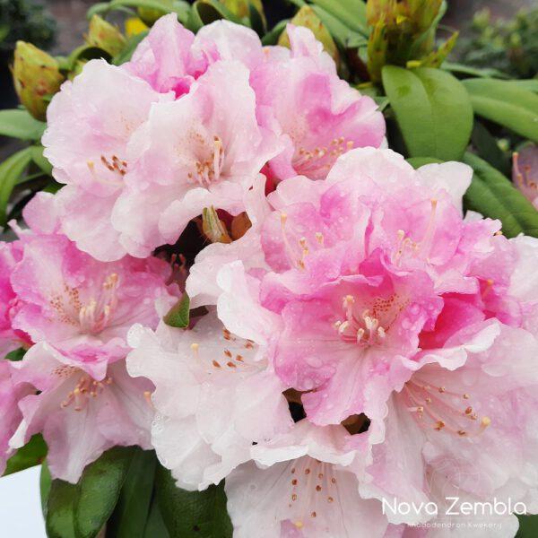 Rhododendron Yakushimanu Dreamland - Kwekerij Nova Zembla